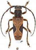 Baraeus subvittatus, ♂, Pteropliini, Gabon