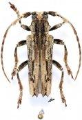 Baraeus tridentatus, ♂, Pteropliini, Gabon