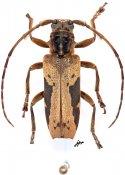 Baraeus vittatus, ♂, Pteropliini, Gabon