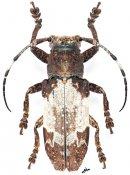 Callimetopus albatus, ♀, Pteropliini, Luzon