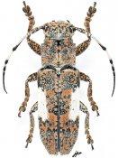 Callimetopus capito, ♀, Pteropliini, Luzon