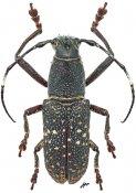 Callimetopus longicollis, ♂, Pteropliini, Luzon