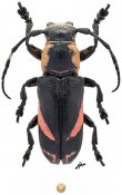 Callimetopus sp., ♂, Pteropliini, Eastern New Guinea