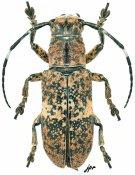 Callimetopus stanleyi, ♀, Pteropliini, Mindanao