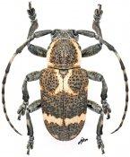 Desisopsis magallanesorum, ♂, Pteropliini, Mindanao
