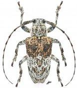 Dystasia mindanaonis, ♀, Pteropliini, Mindanao