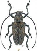 Eczemothea caenosa, ♀, Pteropliini, Sulawesi