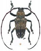 Eczemothea caenosa, ♂, Pteropliini, Sulawesi