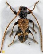 Egesina setosa, ♂, Pteropliini, Sichuan