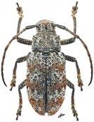 Latabryna arnaudi, ♀, Pteropliini, Luzon