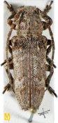 Niphona fuscatrix, ♀, Pteropliini, Sri Lanka