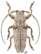 Niphona fuscatrix, ♂, Pteropliini, Tamil Nadu