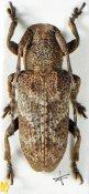 Pterolophia tuberculatrix, ♀, Pteropliini, Assam