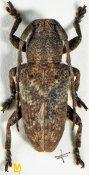 Pterolophia tuberculatrix, ♂, Pteropliini, Assam