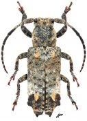 Pterolophia dentifera, ♀, Pteropliini, Gabon