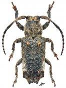 Pterolophia dentifera, ♂, Pteropliini, Gabon