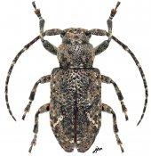 Pterolophia gabonica, ♀, Pteropliini, Gabon