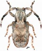 Pterolophia inaequalis, ♂, Pteropliini, Tamil Nadu