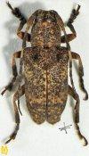 Pterolophia obscurata, ♂, Pteropliini, Sikkim