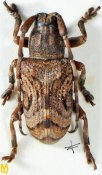 Pterolophia oculata, ♂, Pteropliini, Assam