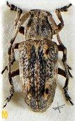 Pterolophia phungi, ♀, Pteropliini, Tamil Nadu