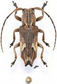 Pterolophia pseudocaudata, ♀, Pteropliini, Gabon