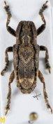 Pterolophia serrata ♂, Pteropliini, Shaanxi