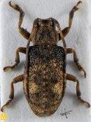 Pterolophia suisapana, ♂, Pteropliini, Shaanxi