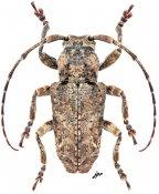 Pterolophia densefasciculata, ♂, Pteropliini, Thailand