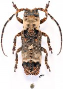 Sthenias cylindrator cylindrator, ♀, Pteropliini, Gabon