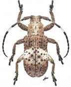 Tuberculetaxalus mindanaonis, ♂, Pteropliini, Mindanao