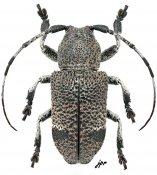 Cyardium sp., ♂, Pteropliini, Luzon