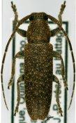 Ataxia yucatana, ♀, Pteropliini, Mexico