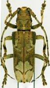 Baraeus aurisecator ♂, Pteropliini, Cameroon