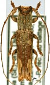 Batrachorhina (Soridus) ♂, Pteropliini, Kenya