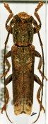 Batrachorhina biapicata, ♂, Pteropliini, Ivory Coast