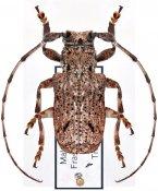 Daxata confusa, ♂, Pteropliini, Malayan Peninsula
