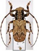 Daxata ustulata ♂, Pteropliini, Malayan Peninsula