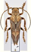 Niphona princeps ♂, Pteropliini, Thailand
