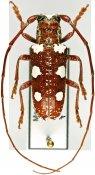 Protorhopala sexnotata, ♂, Pteropliini, Madagascar