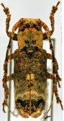 Sthenias (Sthenias) ♀, Pteropliini, Cameroon