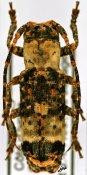 Sthenias cylindrator cylindrator ♀, Pteropliini, Ivory Coast