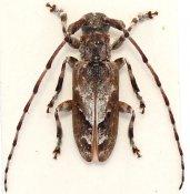 Prosidactus bartolozii, ♂, Ancylonotini, Djibouti