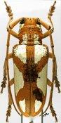 Prosopocera lactator lactator, ♀, Prosopocerini, Burkina Faso