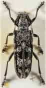 Dystomorphus nigrosignatus, ♀, Saperdini, Yunnan