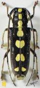 Glenea centroguttata, ♀, Saperdini, Shaanxi