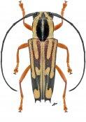 Glenea mephisto, ♀, Saperdini, Gabon