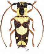 Glenea pulchella, ♀, Saperdini, Luzon
