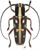 Glenea submajor, ♀, Saperdini, Luzon