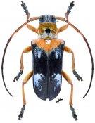 Glenida cyaneofasciata, ♂, Saperdini, Laos